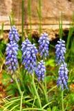 Grape Hyacinth. Wildflowers grow rampant like weeds Stock Photography