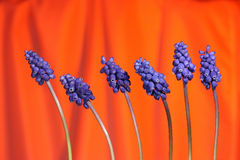 Grape hyacinthes. Several grape hyacinths on red background Stock Image