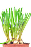 Grape hyacinths Stock Photography