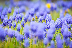 Grape hyacinths in bloom in a garden with overbolwn dandelions. Royalty Free Stock Photo