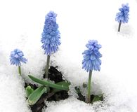 Grape hyacinths blooming through the snow Stock Photos