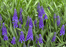Grape Hyacinths Stock Images