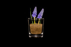 Grape Hyacinths In A Glass Royalty Free Stock Image