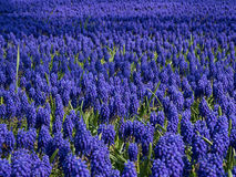 Grape Hyacinths Stock Photos