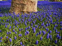 Grape Hyacinths Royalty Free Stock Photo