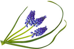 Grape Hyacinths Muscari Stock Photos