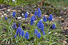 Grape hyacinths muscari Royalty Free Stock Photos