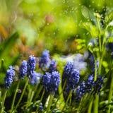 Grape hyacinths Royalty Free Stock Image