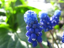 Grape Hyacinths in the Spring Sun stock images