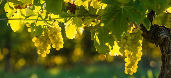 Grape illuminated by the sunlight Stock Photo