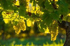 Grape illuminated by the sunlight Royalty Free Stock Photos