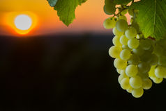 Grape illuminated by the sunlight Royalty Free Stock Images