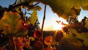 Grape illuminated by the sunlight stock video footage