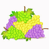 Grape illustration Stock Photography