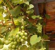 Grape unripe stock images