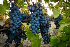 Free Grape Is The Fruit Of The Vine A Plant Of The Family Of Vitaceae. Stock Photo - 163079600