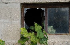 Grape ivy growing in window Royalty Free Stock Photo