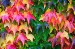 Grape Ivy leaves multicolor pattern Royalty Free Stock Photography