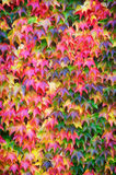 Grape Ivy leaves on a wall Stock Photo