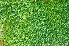 Grape ivy, plant Stock Image