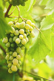 Grape of juicy delicious muscat. Royalty Free Stock Images
