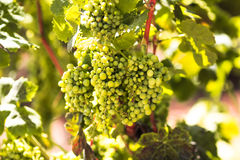 Green grape in the vineyard stock photography