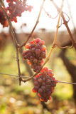 Grape late harvest. Grape of late harvest in the vineyard of Alsace Royalty Free Stock Images