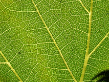 Grape leaf 02. Grape leaf in close up Stock Photos