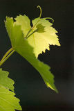 The grape leaf. Branch of grape vine on black background Royalty Free Stock Image