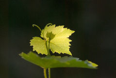 The grape leaf. Branch of grape vine on black background Royalty Free Stock Images