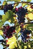 Grape and leaf Stock Photo