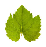 Grape leaf Stock Photos