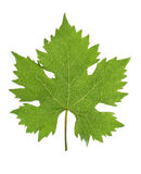 Grape leaf Stock Photo