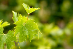 Grape leaf Royalty Free Stock Images