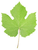 Grape leaf. Isolated on white, clipping path included Stock Photography