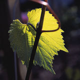 Grape leaf. Chardonnay grape leaf close-up Stock Image