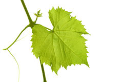 Grape leaf Stock Images