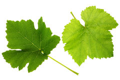 Grape leaf Royalty Free Stock Photography