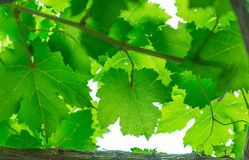 Free Grape Leaf Stock Images - 70398584