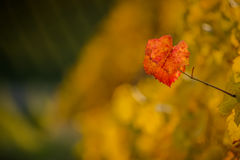 grape leaf against fall background Royalty Free Stock Images