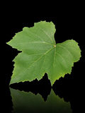 Grape leaf b. Grape leaf isolated on black background Stock Photo