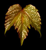 Grape leaf in black background Royalty Free Stock Image