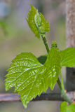 Grape leaf with blossoming buds royalty free stock photography