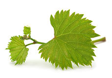 Grape leaf bunch Royalty Free Stock Photo