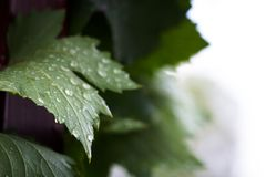 Grape leaf Stock Photos