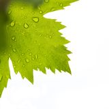 Grape leaf Royalty Free Stock Image