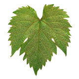 Grape leaf colseup Royalty Free Stock Image