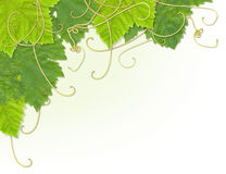 Grape leaf corner Royalty Free Stock Image