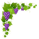 Grape with leaf corner decoration for autumn harvest. Purple grape corner with leaves and tendril for autumn Royalty Free Stock Image