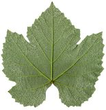 Grape leaf detail Royalty Free Stock Photo
